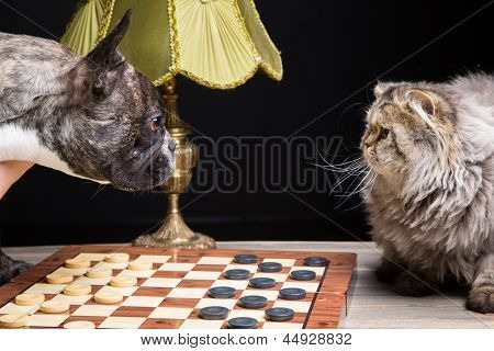 cute French bulldog of tiger color playing checkers with persian cat on black background poster