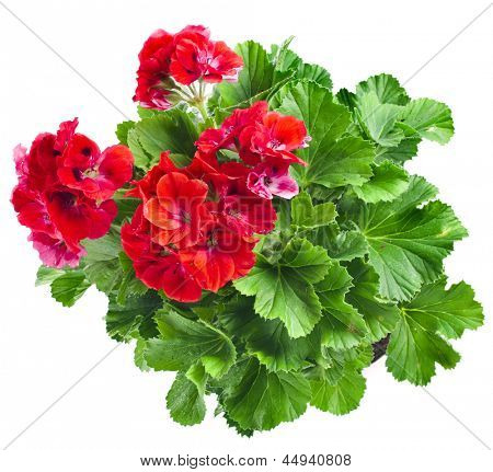 Red geranium flower close up isolated on white background