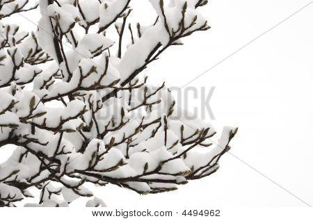 Snow On Magnolia Twigs (isolated)