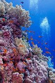 colorful coral reef with soft and hard corals with exotic fishes at the bottom of red sea in egypt poster