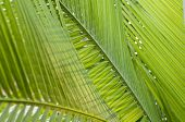 Fresh green palm leaf can be used for background shallow depth of field poster