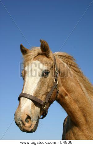 Palamino Paint Horse