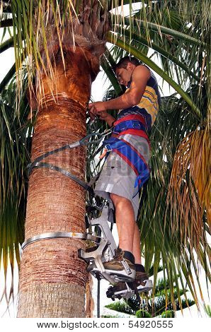Tidying a palm tree, Andalusia, Spain.