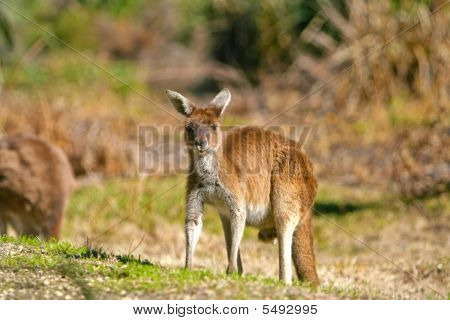 Kangaroo_watching