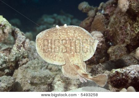 poster of torpedo ray taken in the red sea.