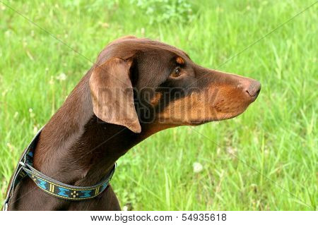 Typical Dobermann Dog In A Garden
