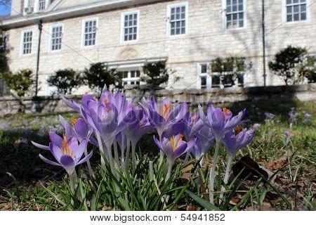 Lavender Crocus Flowers In Mansion Lawn