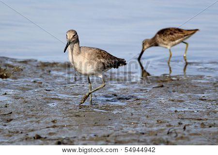 Willet and Dowitcher