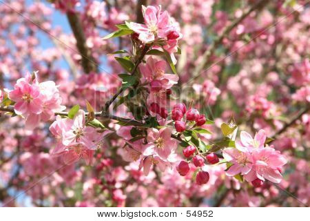 Beautiful Crabapple In Spring