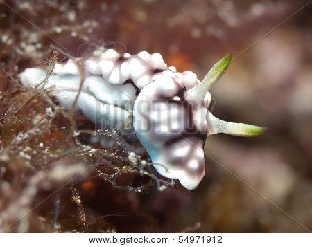 Nudibranch Chromodoris_geometrica