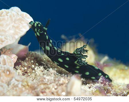 Nudibranch Nembrotha Cristata
