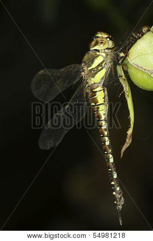 Aeshna mixta / migrant hawker Dragonfly close-up poster