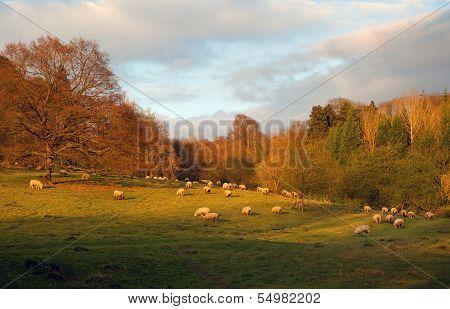 Sheep At Sunset, England