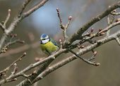 blue tit sitting on the branch of an apple tree with buds in spring. poster