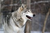 Close-up portrait of a gray wolf in Winter poster