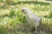 Little yellow Baby chick standing in grass poster