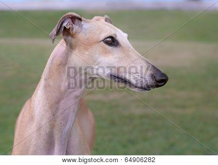 Female Spanish Galgo Dog