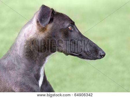 Spanish Galgo Dog