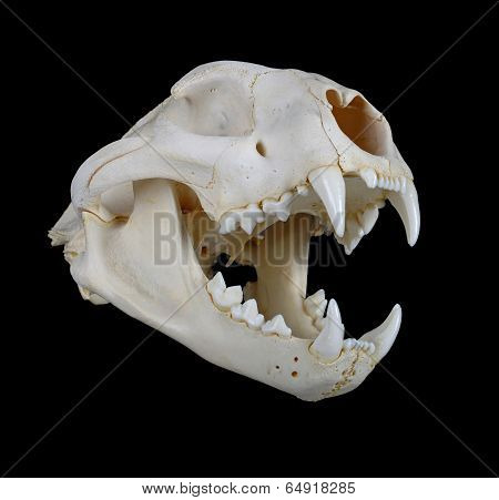 Cougar Skull