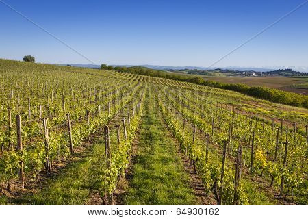 Wine Country Vineyard In Northern Italy