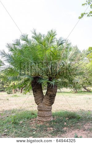 an endangered species of plant called Cycad (scientific name- Cycas Beddomei Dyer)