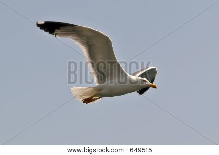 Gull Flying High