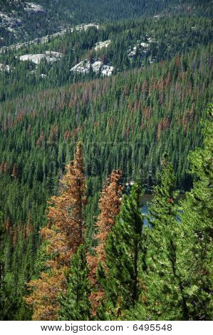Pine Beetle infestation