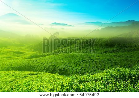 Landscape view of tea plantation with blue sky in morning. Beautiful tea field Cameron Highlands in Malaysia.