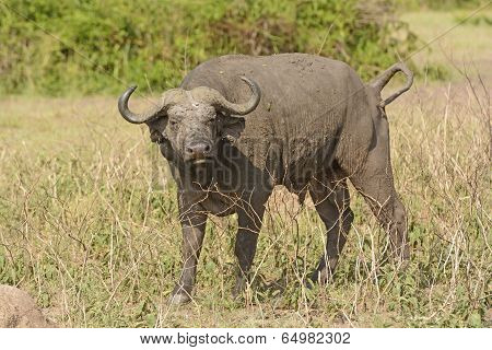 Cape Buffalo In The Veldt