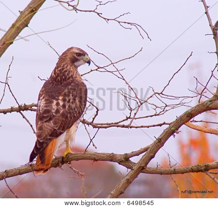 A red tailed hawk perched on a tree. Located in Cape Cod, MA poster