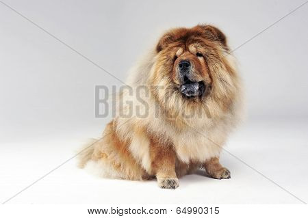 chow chow sitting in a a white limbo