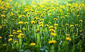 Meadow with lots of blooming yellow dandelions poster