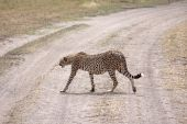Female cheetah crossing the road in the Serengeti national park Tanzania poster