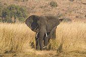 African Elephant in Savannah, Loxodonta africana poster