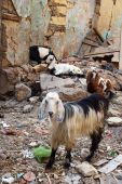 goats eating anything the rubbish and rubble of Islamic cairo poster