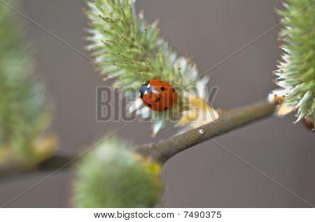 Ladybirds - Coccinellidae