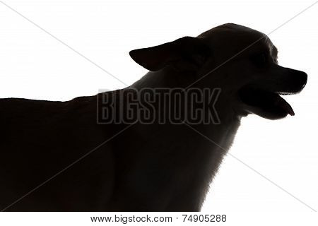Image Of Chihuahua With Open Mouth
