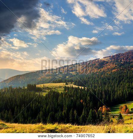 Fir Forest On A  Hill