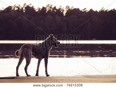 Dog patiently waiting the owner near the lake. Toned poster