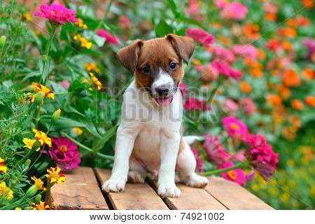 Jack Russel puppy sitting on wooden crate in colorful garden