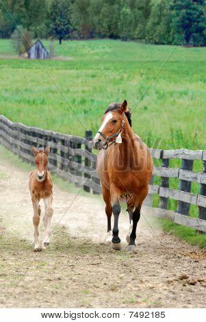 colt and mare running