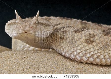 Desert horned viper / Cerastes cerastes