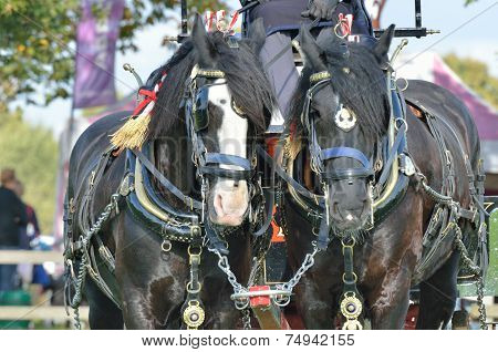 two shire horses working