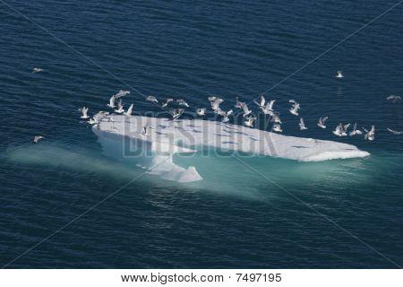 Sea birds on ice floe
