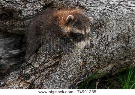 Baby Raccoon (procyon Lotor) Clambers Out Of Log
