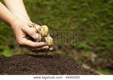 A handful of homegrown potatoes