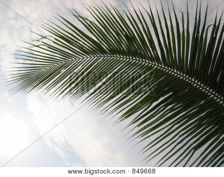 Closeup Coconut Palm Tree Leaf