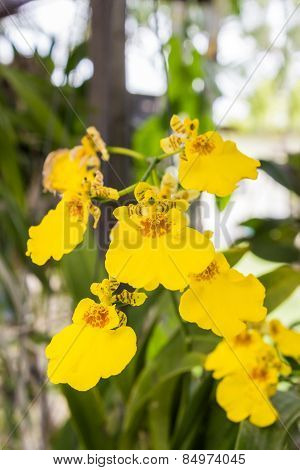 Oncidium Orchid Flowers.