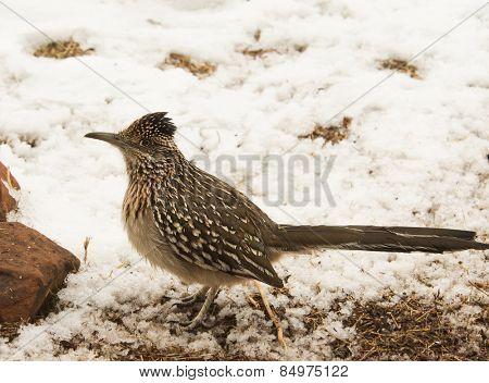Geococcyx californianus, Greater roadrunner sitting in snow, alerted