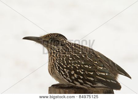 Greater Roadrunner sitting on top of a post, waiting for prey, against snowy background